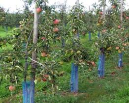 Osłonka na drzewka - jabłonka