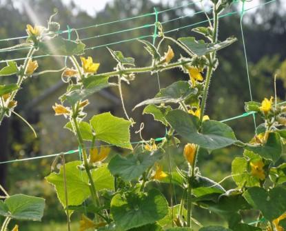 Siatka na ogórki - podpora pnączy